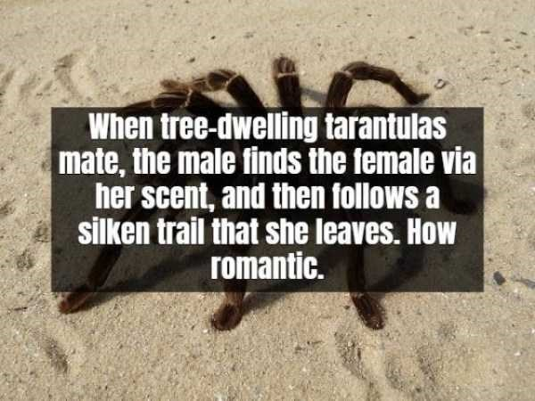 Text - When tree-dwelling tarantulas mate, the male finds the female via her scent, and then follows a silken trail that she leaves. How romantic.