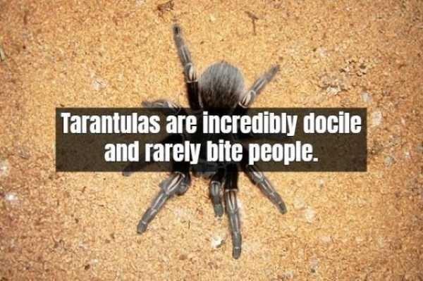 Tarantula - Tarantulas are incredibly docile and rarely bite people.