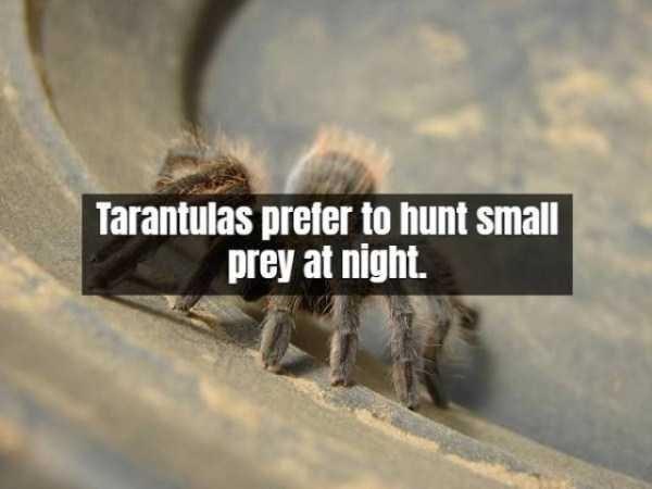 Text - Tarantulas prefer to hunt small prey at night.
