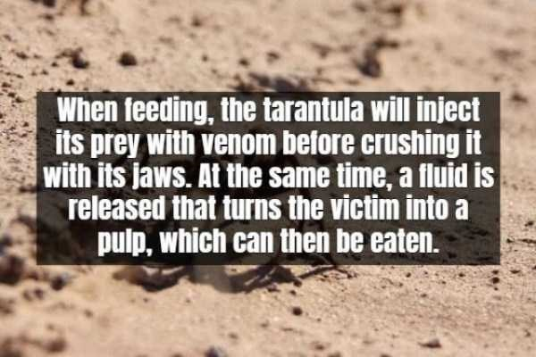 Text - When feeding, the tarantula will inject its prey with venom before crushing it with its jaws. At the same time, a fluid is released that turns the victim into a pulp, which can then be eaten.