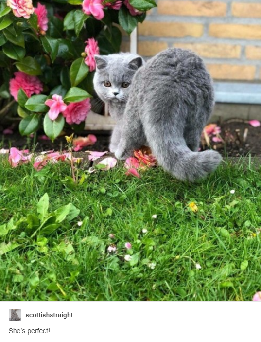 grey scottish straight cat in garden near bush with pink flowers