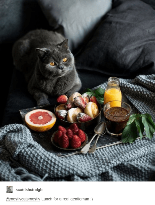 grey scottish straight cat sitting in navy bed wirh tray of fruit juice coffee and breakfast in front of it