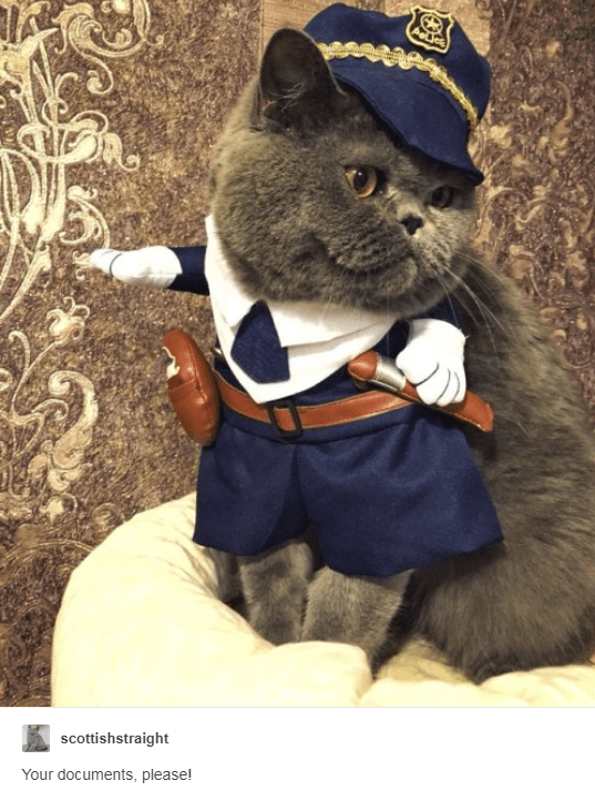 grey scottish straight cat dressed as train conductor Your documents, please!
