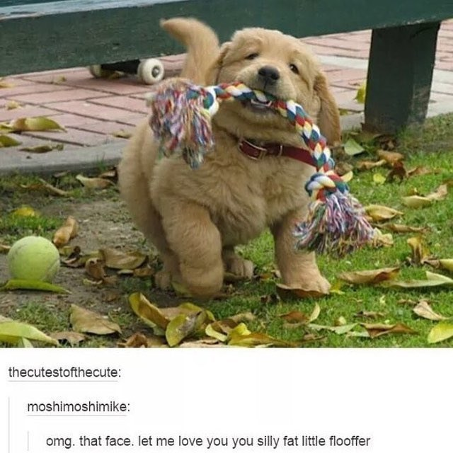 cute animal - Dog - thecutestofthecute: moshimoshimike: omg. that face. let me love you you silly fat little flooffer