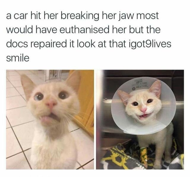 cute animal - Cat - a car hit her breaking her jaw most would have euthanised her but the docs repaired it look at that igot9lives smile 10 SELCO
