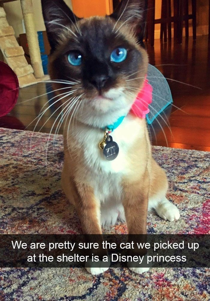 """Snapchat of a Siamese cat with bright blue eyes and a caption that reads, """"We are pretty sure the cat we picked up at the shelter is a Disney princess"""""""