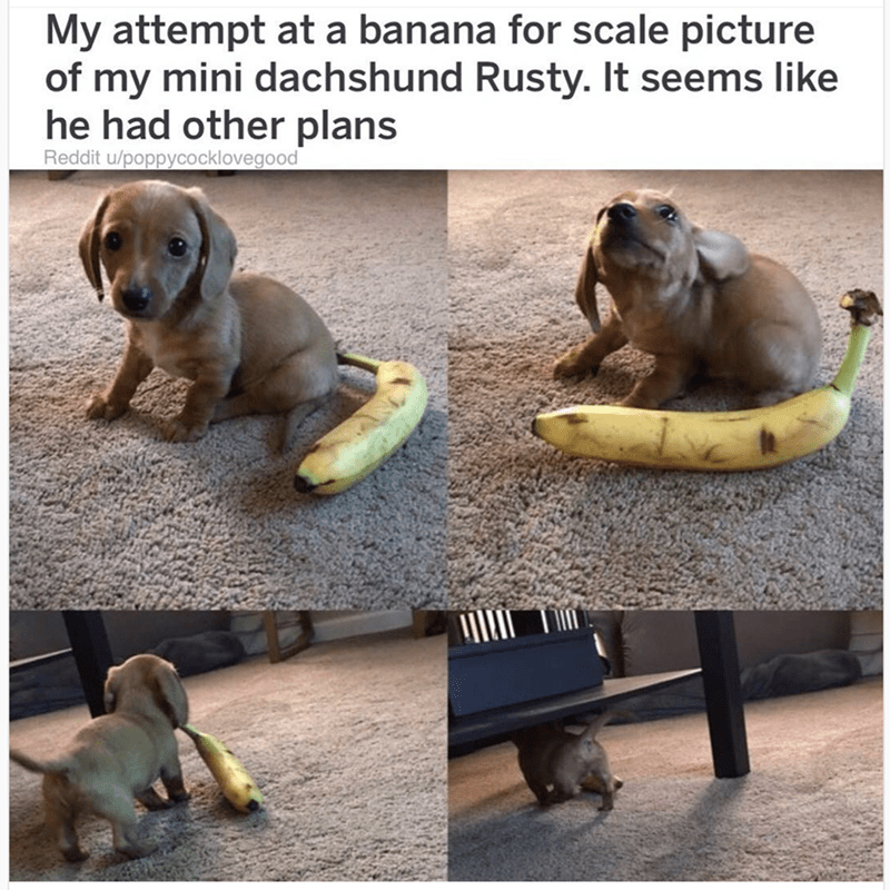 cute animal - Dog - My attempt at a banana for scale picture of my mini dachshund Rusty. It seems like he had other plans Reddit u/poppycocklovegood