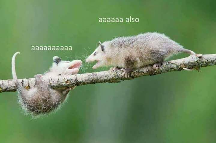 cute animal - Common opossum - aaaaaa also aaaaaaaaaa
