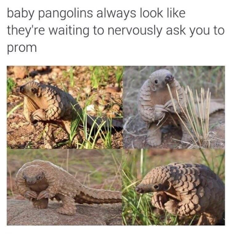 Terrestrial animal - baby pangolins always look like they're waiting to nervously ask you to prom