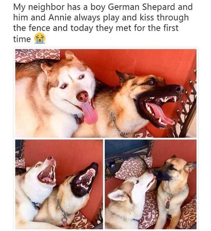 "Caption that reads, ""My neighbor has a boy German shepherd and him and Annie always play and kiss through the fence and today they met for the first time"" above a picture of a German shepherd and a husky"