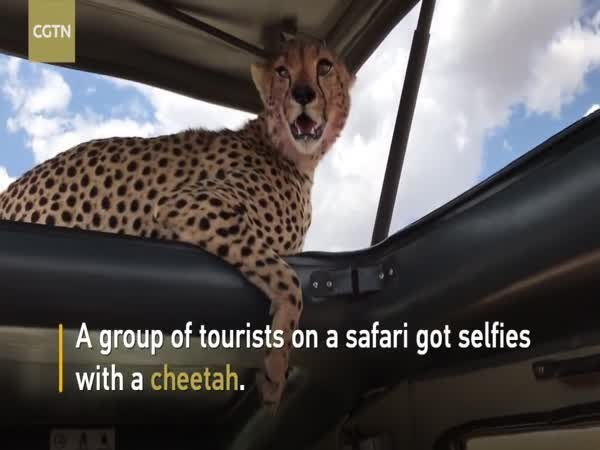 cheetah tourists selfie Video safari - 9213239296