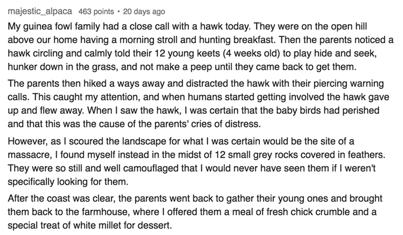Text My guinea fowl family had a close call with a hawk today. They were on the open hill above our home having a morning stroll and hunting breakfast. Then the parents noticed a hawk circling and calmly told their 12 young keets (4 weeks old) to play hide and seek, hunker down in the grass, and not make a peep until they came back to get them. The parents then hiked a ways away and distracted the hawk with their piercing warning calls. This caught my att