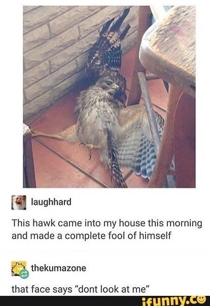 """work meme - Photo caption - laughhard This hawk came into my house this morning and made a complete fool of himself thekumazone that face says """"dont look at me"""" ifunny.co"""