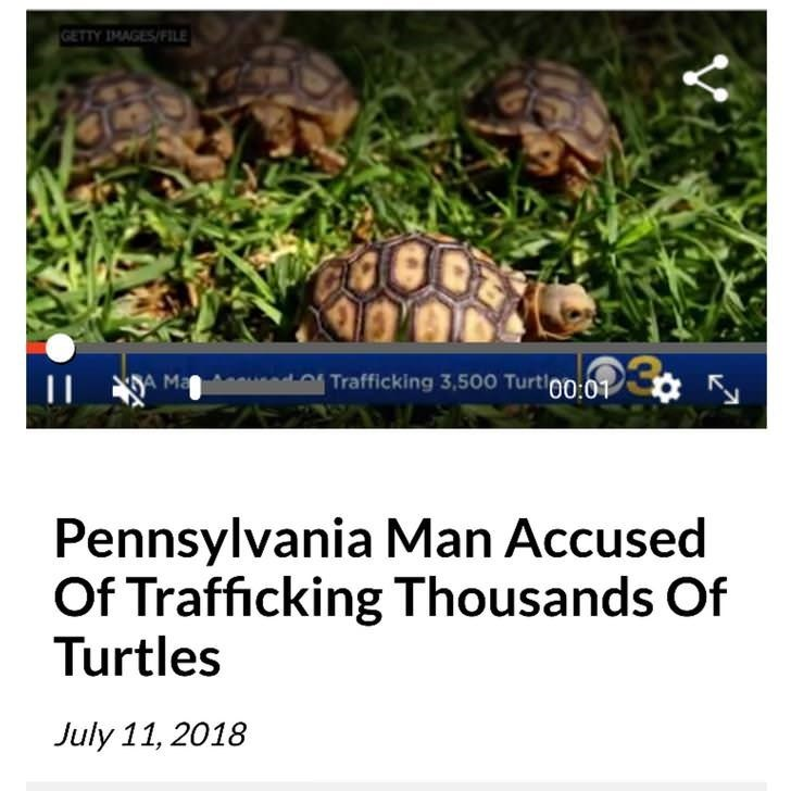 Tortoise - GETTY IMAGES/FILE Trafficking 3,500 Turti00:01 A Ma Pennsylvania Man Accused Of Trafficking Thousands Of Turtles July 11, 2018