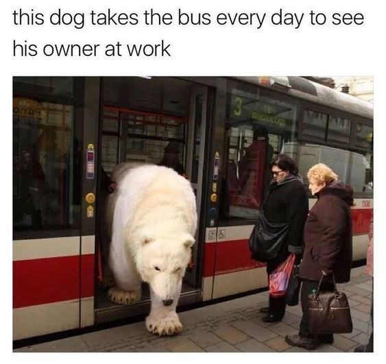 bear meme - Fur - this dog takes the bus every day to see his owner at work RANUC