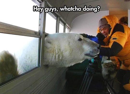 bear meme - Polar bear - Hey guys, whatcha doing?