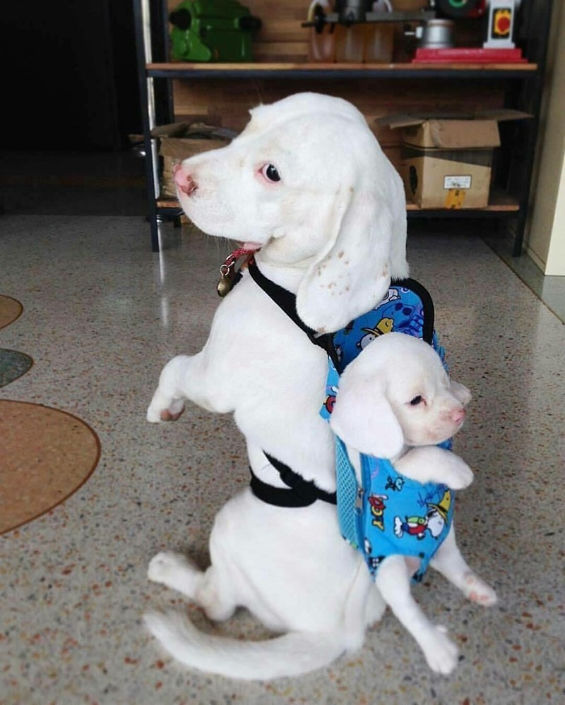 cute meme of a dog with a puppy in his backpack
