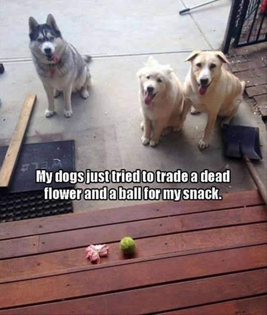 "dog meme of three dogs by porch stairs with the caption, ""My dogs just tried to trade a dead flower and a ball for my snack"""