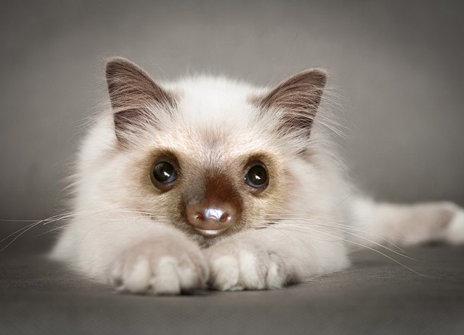 white cat with sloth face lying on belly
