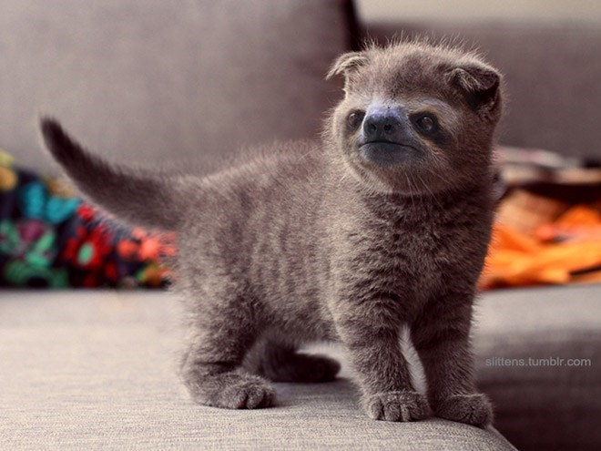 grey cat with sloth face standing on couch