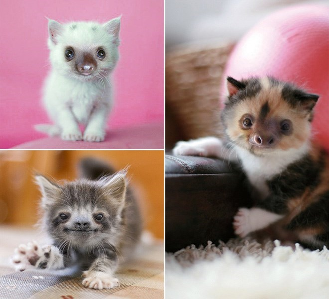 three different colored cats with sloth faces