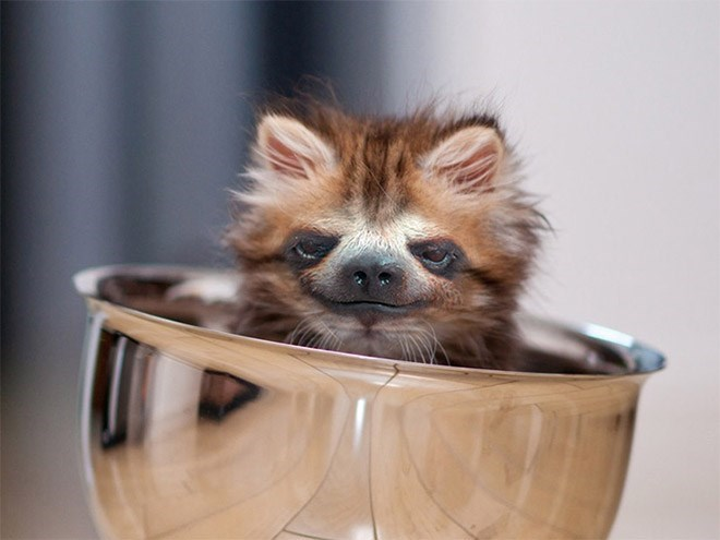 cat with sloth face sitting inside a shiny metal goblet