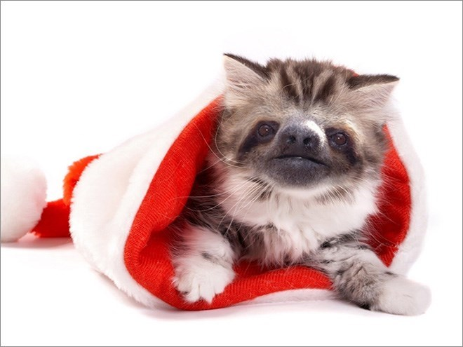 white and grey cat with sloth face inside a santa hat