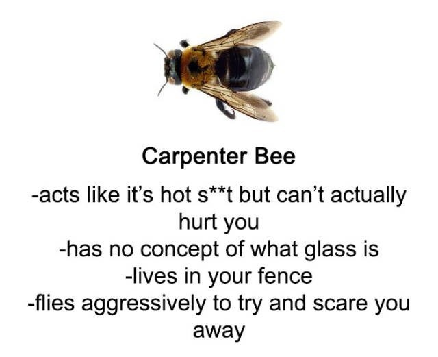 Insect - Carpenter Bee -acts like it's hot s**t but can't actually hurt you -has no concept of what glass is -lives in your fence -flies aggressively to try and scare you away