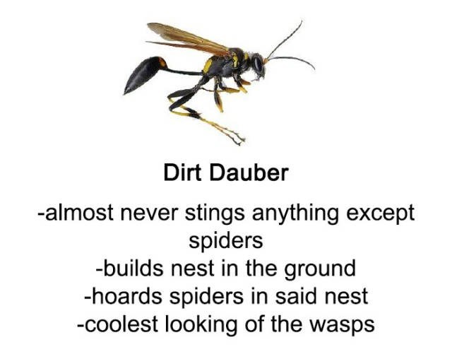Insect - Dirt Dauber -almost never stings anything except spiders -builds nest in the ground -hoards spiders in said nest -coolest looking of the wasps