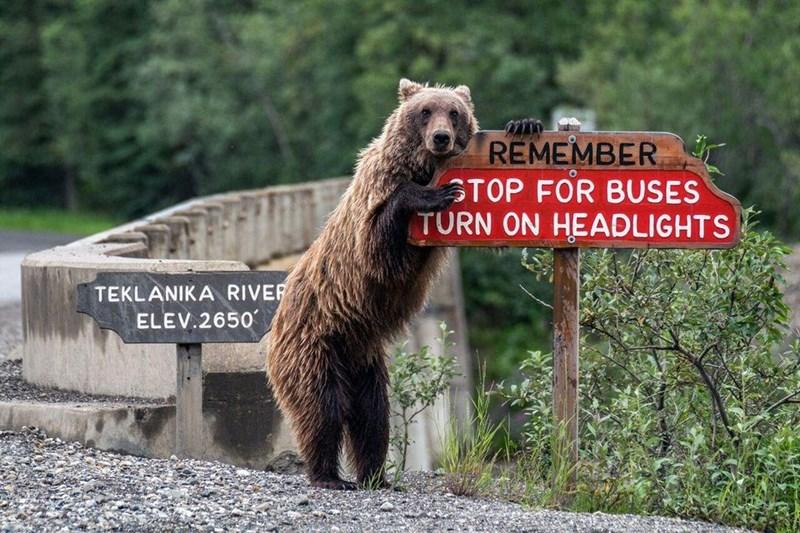 funny animal - Brown bear - REMEMBER STOP FOR BUSES TURN ON HEADLIGHTS TEKLANIKA RIVER ELEV.2650