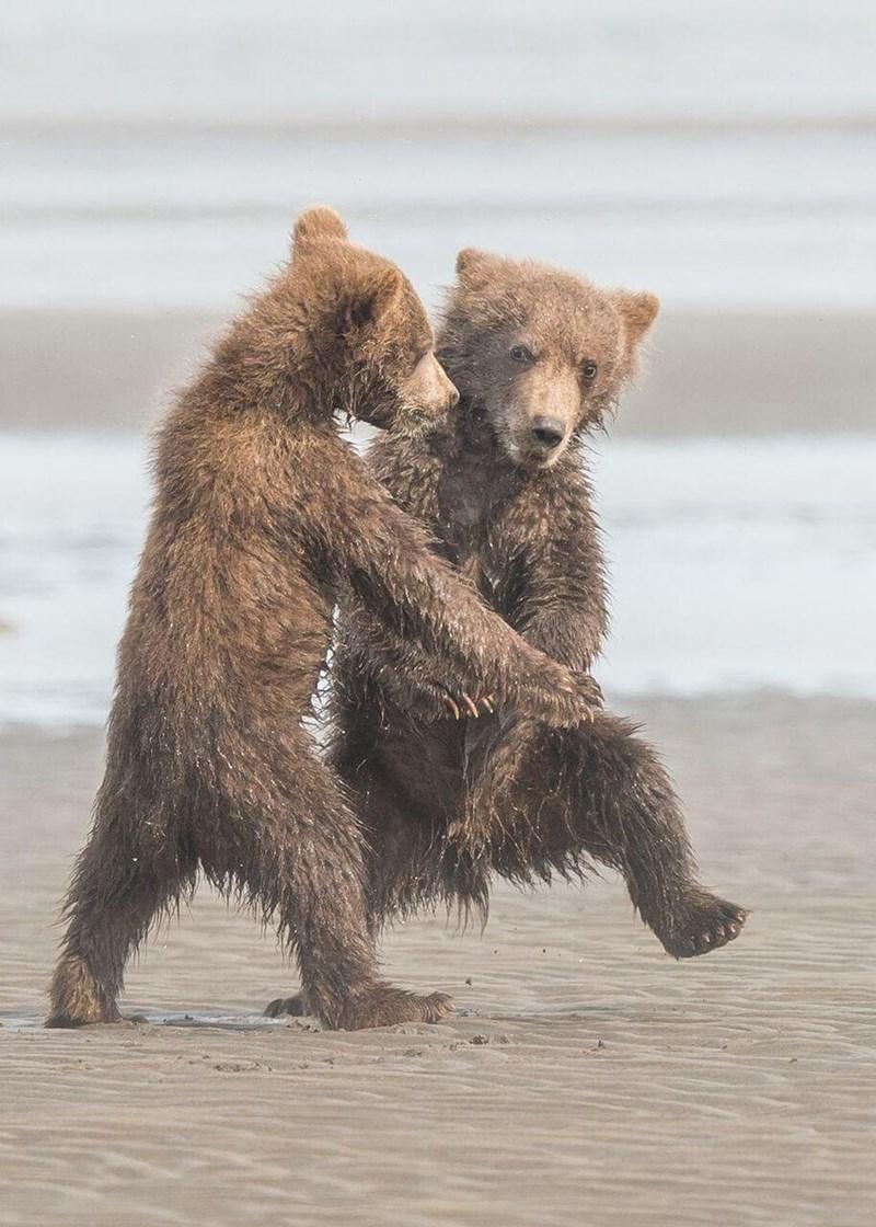 funny animal - Brown bear