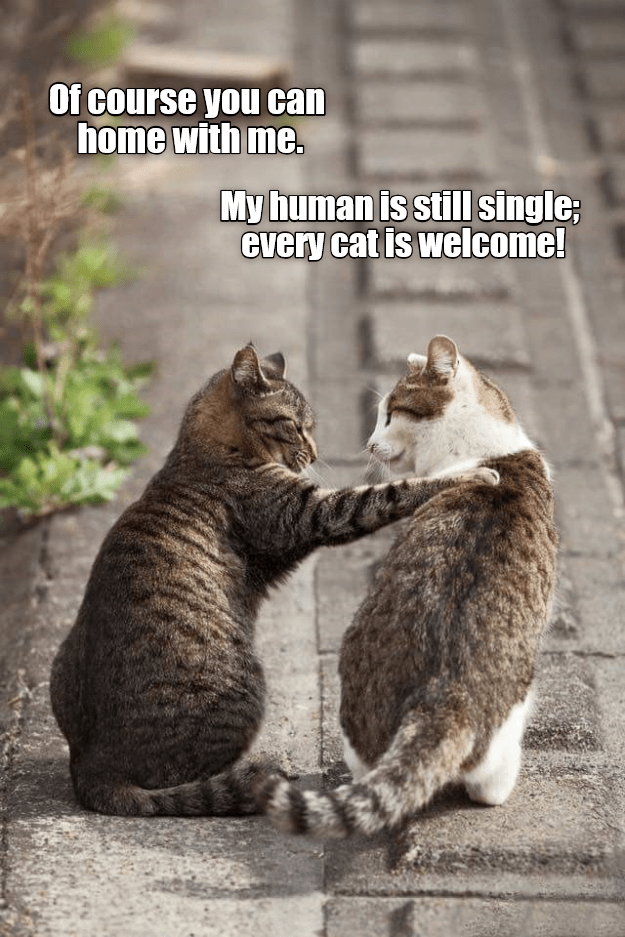cat meme - Cat - Of course you can home with me. My human is still single; every cat is welcome!