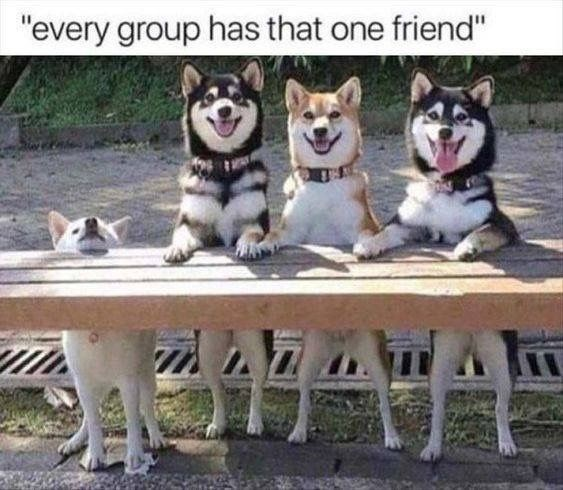 "shiba inu - Mammal - ""every group has that one friend"""