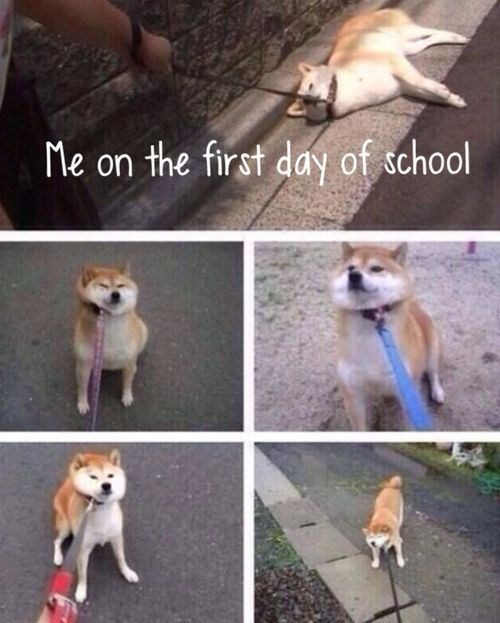 shiba inu - Dog - Me on the first day of tchool