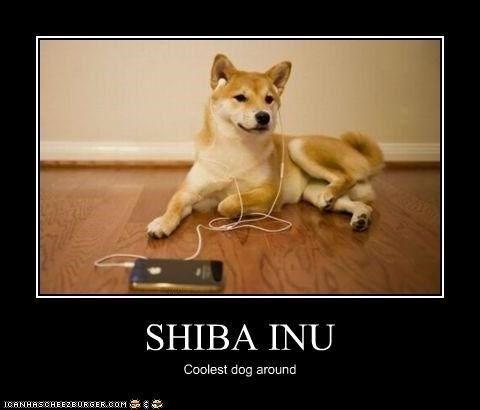 shiba inu - Mammal - SHIBA INU Coolest dog around ICRNASCHEE2EURGER.COM