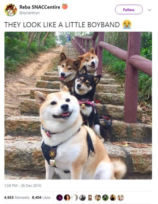 shiba inu - Mammal - Reba SNACCentire Follow @syrianbryn THEY LOOK LIKE A LITTLE BOYBAND 1:58 PM - 26 Dec 2016 4,653 Retweets 8,404 Likes