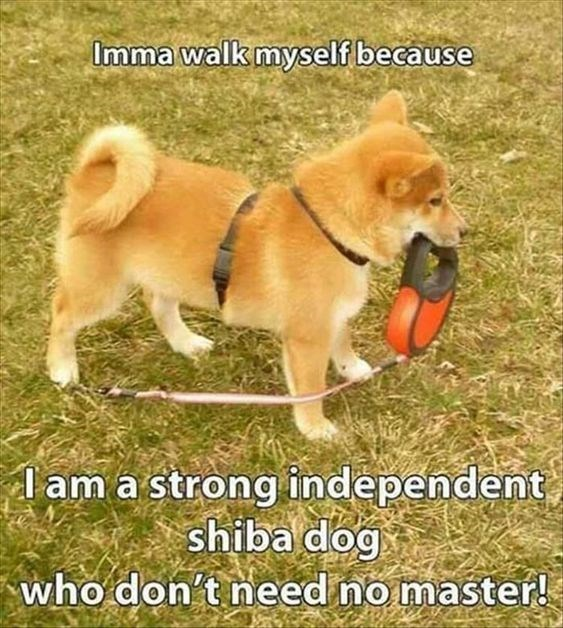 shiba inu - Dog - Imma walk myself because lam a strong independent shiba dog who don't need no master!