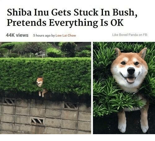 shiba inu - Shiba inu - Shiba Inu Gets Stuck In Bush, Pretends Everything Is OK 44K views Like Bored Panda on FB 5 hours ago by Low Lai Chow