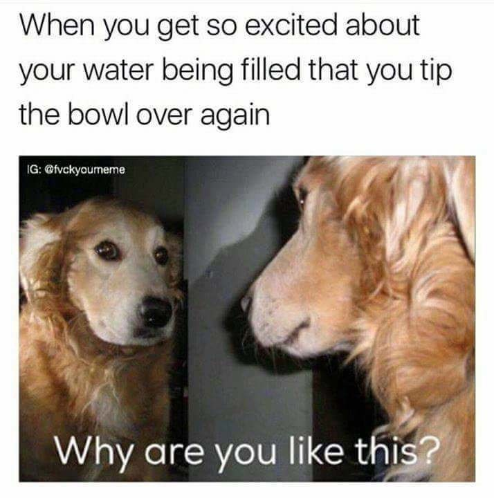 meme - Dog breed - When you get so excited about your water being filled that you tip the bowl over again IG: @fvckyoumeme Why are you like this?