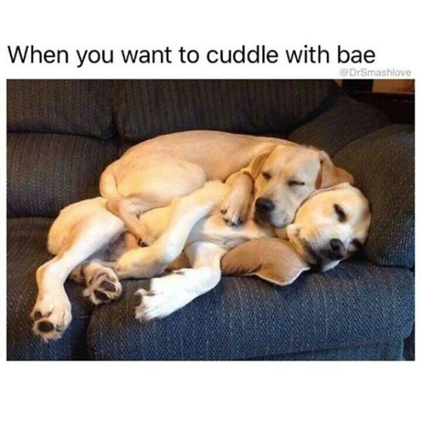 dating meme - Dog - When you want to cuddle with bae @DrSmashlove