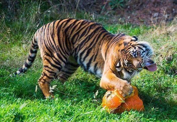 derping animals - Tiger