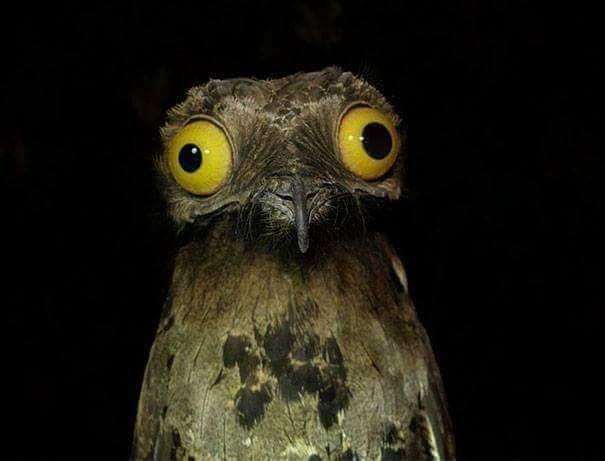 derping animals - Owl