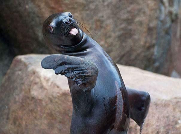 derping animals - California sea lion