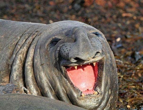 derping animals - Seal