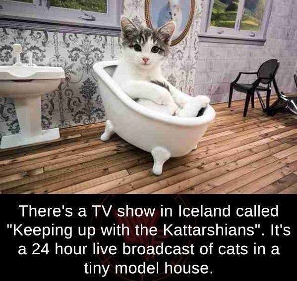 """cat meme - Cat - There's a TV show in Iceland called """"Keeping up with the Kattarshians"""". It's 24 hour live broadcast of cats in a tiny model house."""