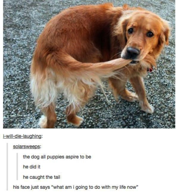 """Dog breed - will-die-laughing: solarsweeps: the dog all puppies aspire to be he did it he caught the tail his face just says """"what am i going to do with my life now"""