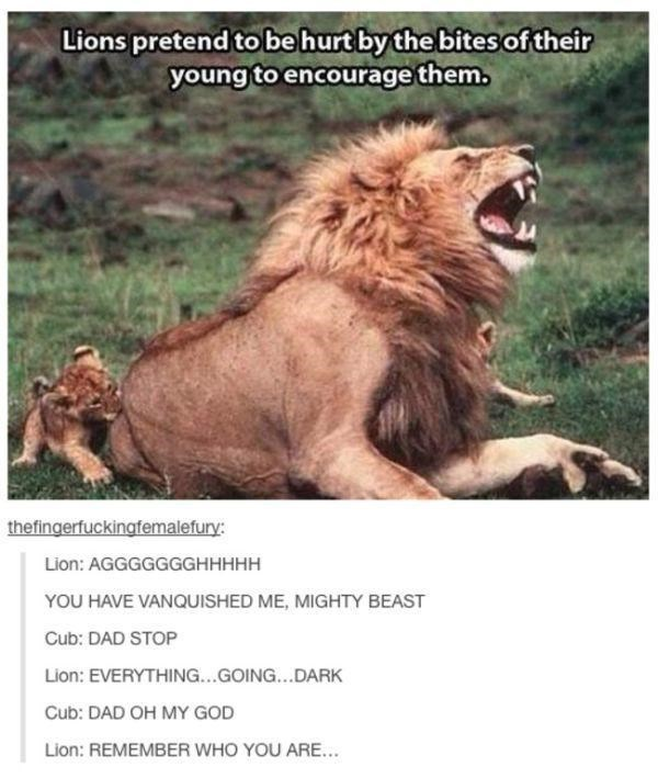 Masai lion - Lions pretend to be hurt by the bites of their young to encourage them thefingerfuckingfemalefury: Lion: AGGGGGGGHHHHH YOU HAVE VANQUISHED ME, MIGHTY BEAST Cub: DAD STOP Lion: EVERYTHING...GOING... DARK Cub: DAD OH MY GOD Lion: REMEMBER WHO YOU ARE...