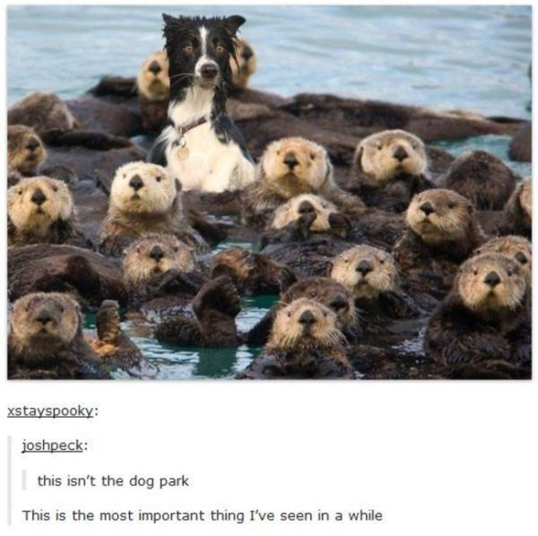 Sea otter - xstayspooky: joshpeck: this isn't the dog park This is the most important thing I've seen in a while