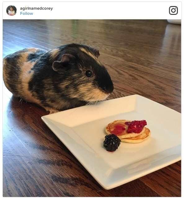 Guinea pig - agirinamedcorey Follow