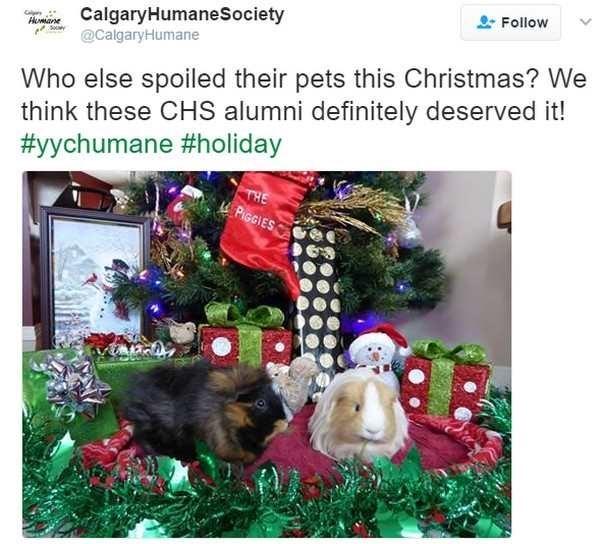 Adaptation - Follow CalgaryHumaneSociety @CalgaryHumane Hane Who else spoiled their pets this Christmas? We think these CHS alumni definitely deserved it! #yychumane #holiday THE PIGGIES